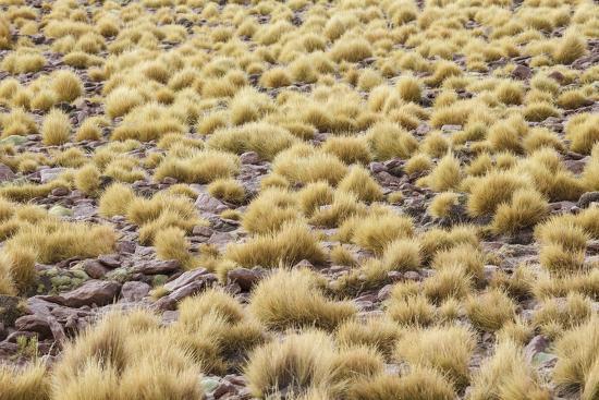 Chile, Pampas Incahuasi, Ischu Grass-Jutta Ulmer-Photographic Print