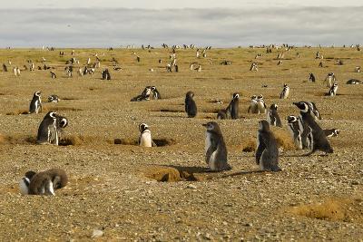 Chile, Patagonia, Isla Magdalena. Field of Magellanic Penguins-Cathy & Gordon Illg-Photographic Print