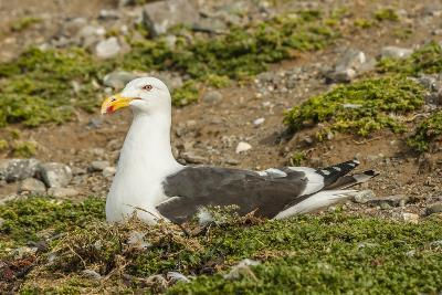 Chile, Patagonia, Isla Magdalena. Kelp Gull Adult on Nest-Cathy & Gordon Illg-Photographic Print