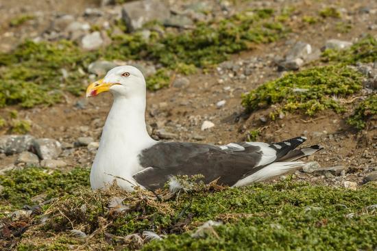 Chile, Patagonia, Isla Magdalena. Kelp Gull Adult on Nest-Cathy & Gordon Illg-Photographic Print