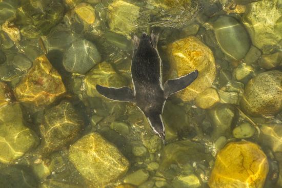 Chile, Patagonia, Isla Magdalena. Magellanic Penguin in Water-Cathy & Gordon Illg-Photographic Print