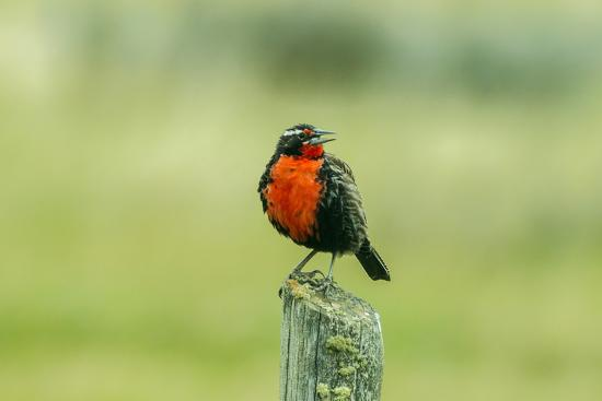 Chile, Patagonia. Long-tailed meadowlark singing.-Jaynes Gallery-Premium Photographic Print