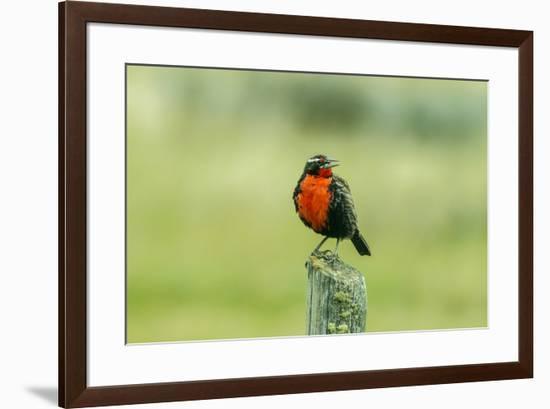 Chile, Patagonia. Long-tailed meadowlark singing.-Jaynes Gallery-Framed Premium Photographic Print