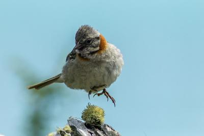 https://imgc.artprintimages.com/img/print/chile-patagonia-rufous-collared-sparrow-jumping_u-l-q1czej00.jpg?p=0
