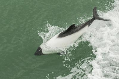 Chile, Patagonia, Straits of Magellan. Commerson's Dolphin Breaching-Cathy & Gordon Illg-Photographic Print