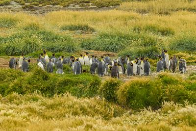 Chile, Patagonia, Tierra del Fuego. King Penguin Colony-Cathy & Gordon Illg-Photographic Print
