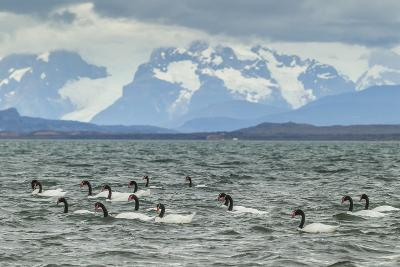 Chile, Patagonia, Ultima Esperanza Sound. Black-Necked Swans-Cathy & Gordon Illg-Photographic Print