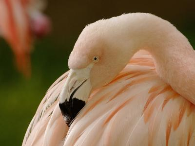 Chilean Flamingo Head (Phoenicopterus Chilensis), Captive-Dave Watts-Photographic Print