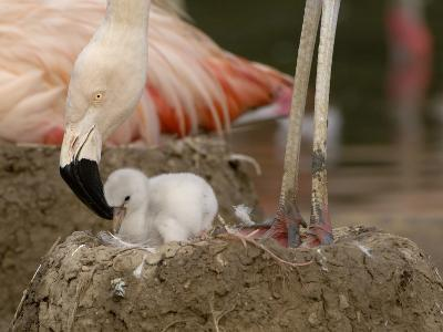 Chilean Flamingo (Phoenicopterus Chilensis) Adult with Small Chick in the Nest, Captive-Dave Watts-Photographic Print