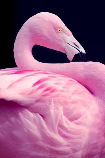 Chilean Flamingo Portrait-Jeff McGraw-Photographic Print