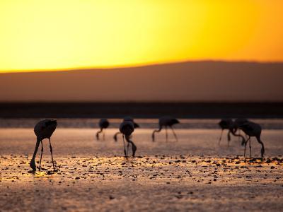Chilean Flamingos on the Laguna Chaxa-Alex Saberi-Photographic Print