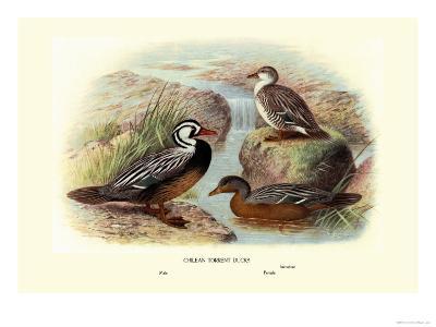 Chilean Torrent Ducks-Henrick Gronvold-Art Print