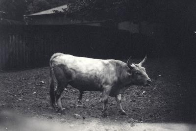 Chillingham Bull at London Zoo, June 1917-Frederick William Bond-Photographic Print