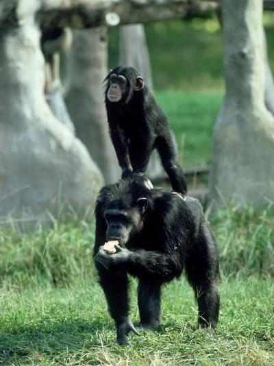 Chimpanzee, Baby Stands on Mothers Back, Zoo Animal-Stan Osolinski-Photographic Print