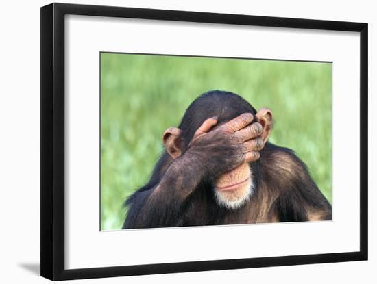 Chimpanzee Covering Eyes with Hand-DLILLC-Framed Photographic Print