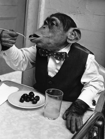Chimpanzee Dining at a Table