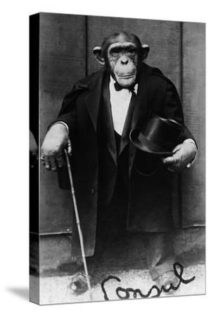 Chimpanzee Dressed in Evening Wear