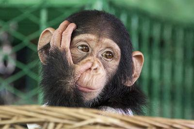 Chimpanzee Face-apple2499-Photographic Print