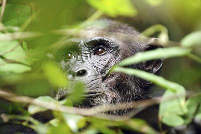 Chimpanzee in Bush at Mahale Mountains National Park, Tanzania-Paul Joynson Hicks-Photographic Print