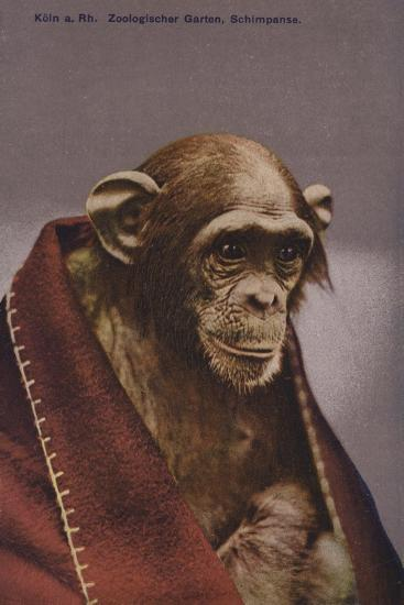 Chimpanzee in Cologne Zoo--Giclee Print