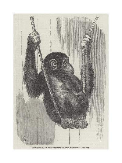 Chimpanzee, in the Gardens of the Zoological Society--Giclee Print