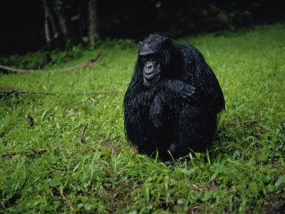 https://imgc.artprintimages.com/img/print/chimpanzee-in-the-rain_u-l-p4dlhk0.jpg?p=0