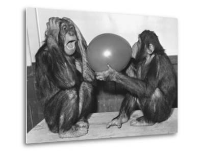 Chimpanzee Inflates a Balloon