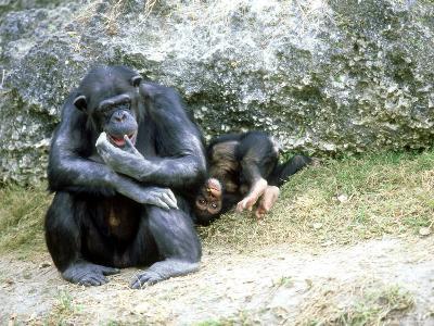 Chimpanzee, Mother & Baby, Zoo Animal-Stan Osolinski-Photographic Print