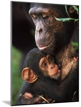 Chimpanzee Mother Nurturing Baby-null-Mounted Photographic Print