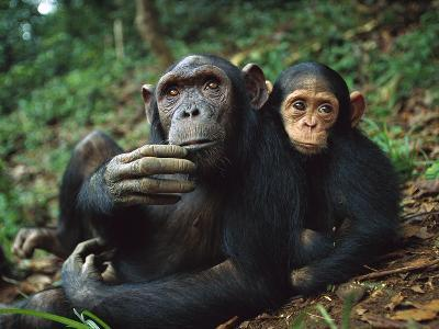 Chimpanzee (Pan Troglodytes) Adult Female with Orphan Baby She Has Adopted, Gabon-Cyril Ruoso-Photographic Print