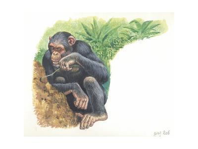 Chimpanzee Pan Troglodytes Fishing for Termites--Giclee Print