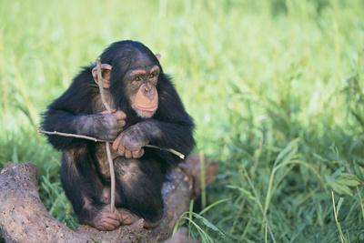 https://imgc.artprintimages.com/img/print/chimpanzee-playing-with-a-stick_u-l-pzri0m0.jpg?p=0
