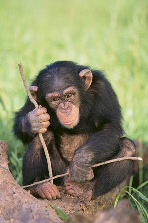 https://imgc.artprintimages.com/img/print/chimpanzee-playing-with-a-stick_u-l-pzrkfu0.jpg?p=0