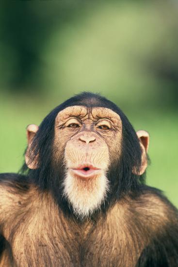 Chimpanzee Puckering its Lips-DLILLC-Photographic Print