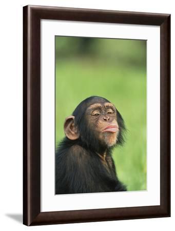 Chimpanzee Puckering-DLILLC-Framed Photographic Print