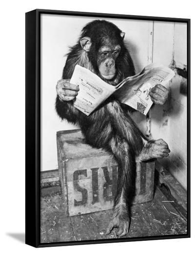 Chimpanzee Reading Newspaper-Bettmann-Framed Canvas Print
