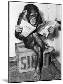 Chimpanzee Reading Newspaper-Bettmann-Mounted Photographic Print