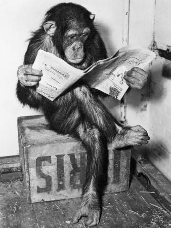 Chimpanzee Reading Newspaper-Bettmann-Photographic Print
