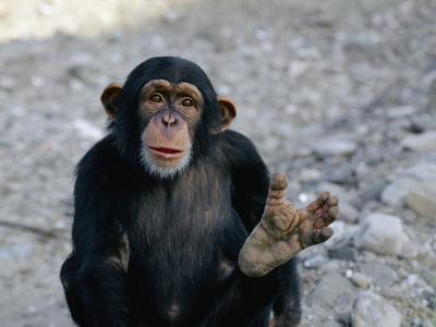 Chimpanzee Showing His Foot-Kenneth Garrett-Photographic Print