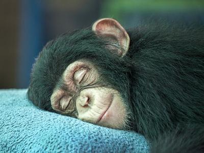 Chimpanzee Sleeping-apple2499-Photographic Print