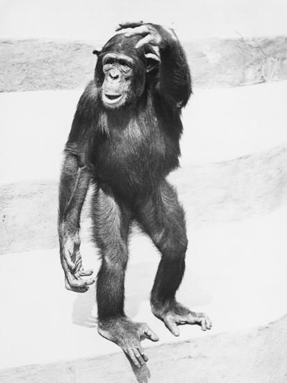 Chimpanzee Standing on Steps, Scratching Head-George Marks-Photographic Print