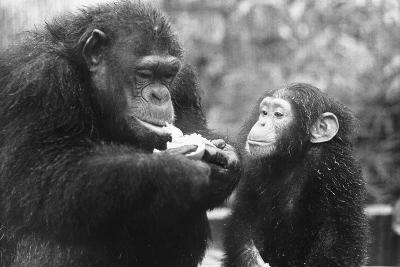 Chimpanzee with Her Young--Photographic Print