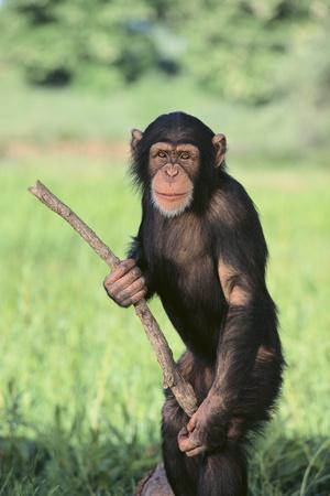 https://imgc.artprintimages.com/img/print/chimpanzee-with-stick_u-l-pzregl0.jpg?p=0