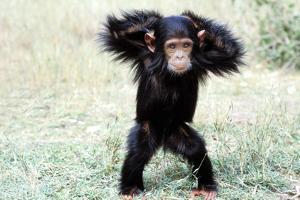 Chimpanzee Young, with Arms on Head