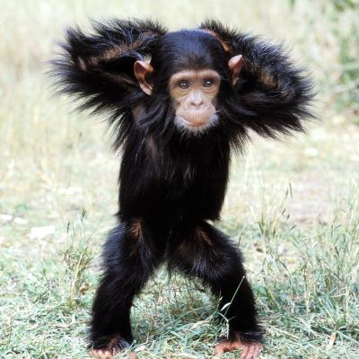 Chimpanzee Young, with Arms on Head--Photographic Print