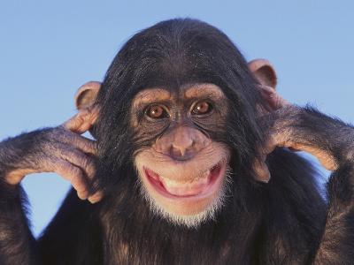 Chimpanzee--Photographic Print