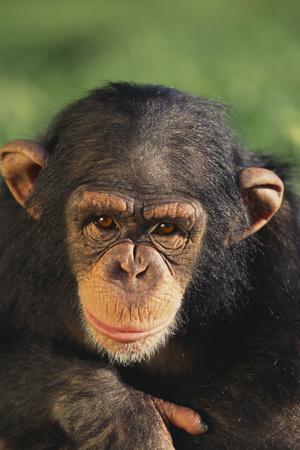 https://imgc.artprintimages.com/img/print/chimpanzee_u-l-pzrir00.jpg?p=0