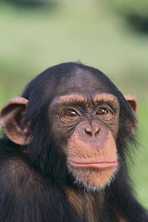 https://imgc.artprintimages.com/img/print/chimpanzee_u-l-pzrjg30.jpg?p=0