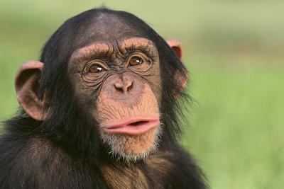 Chimpanzee-DLILLC-Photographic Print