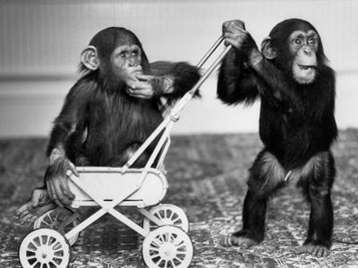Chimpanzees Jambo and William at Twycross Zoo, England, September 19, 1984